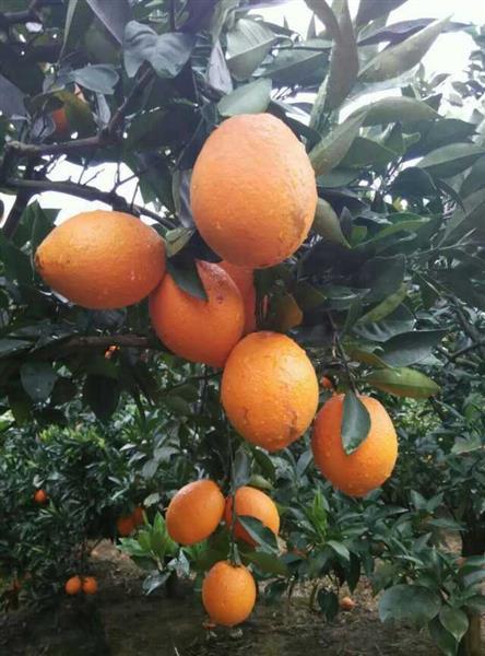 天江农场猕猴桃、黄秋葵、橙子、葛根粉、蜂产品等